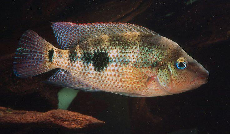 Amphilophus Calobrensis