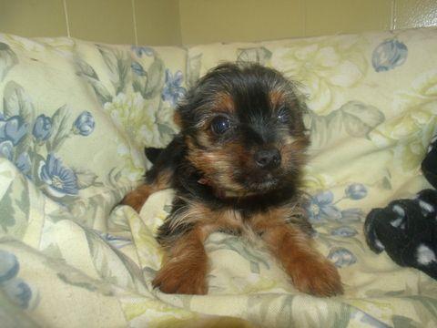 Yorkshire Terrier Puppy For Sale In Paterson Nj Adn 66953 On Puppyfinder Com Gender Fema Yorkshire Terrier Puppies Yorkshire Terrier Terrier Puppy