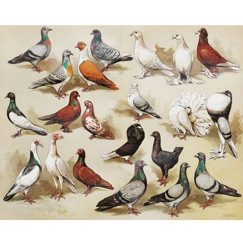 Vintage Birds Poster Print A Flock Of Pigeon Breeds Painting Wall Art Decor