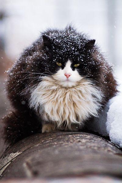 purring snowball by evgeniy Romanov
