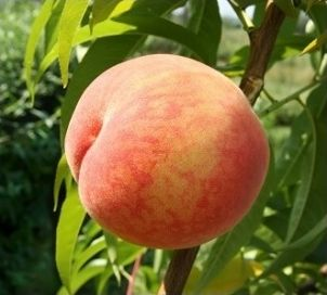 Peach E-Liquid – The Vaping Guru