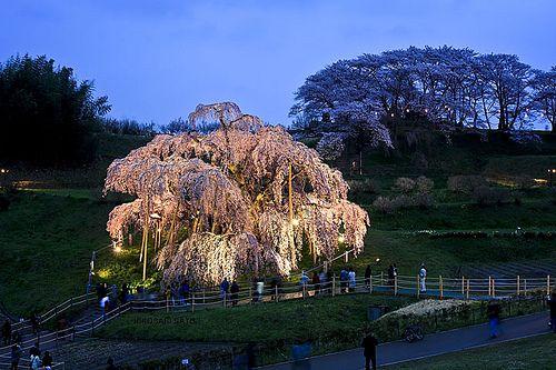 三春滝桜ライトアップ