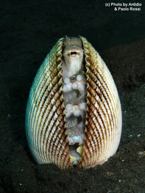 Yes, is an octopus. Who can slip into any space, including this shell.