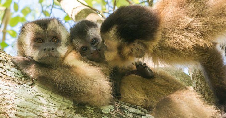 Família de Macacos-prego é fotografada no Mato Grosso do Sul