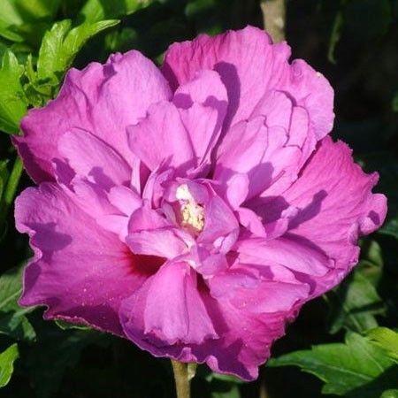 Hibiscus à fleurs poupre violine doubles à coeur plus clair, veiné de rouge.