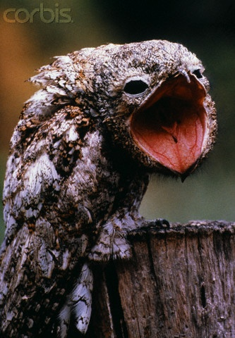 "Frog Mouth Potoo Bird - nocturnal, with a mournful cry that sounds like ""Poor me! Poor, poor, poor me!"""