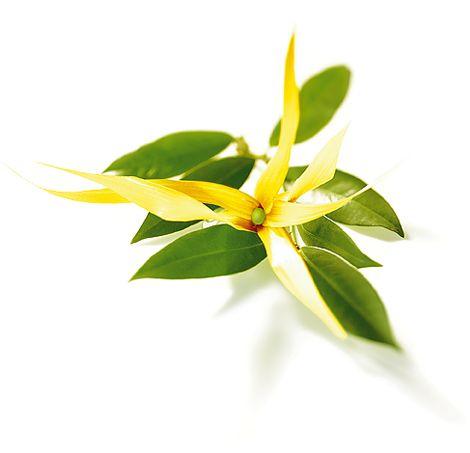 Les propriétés de l'huile essentielle d'ylang-ylang