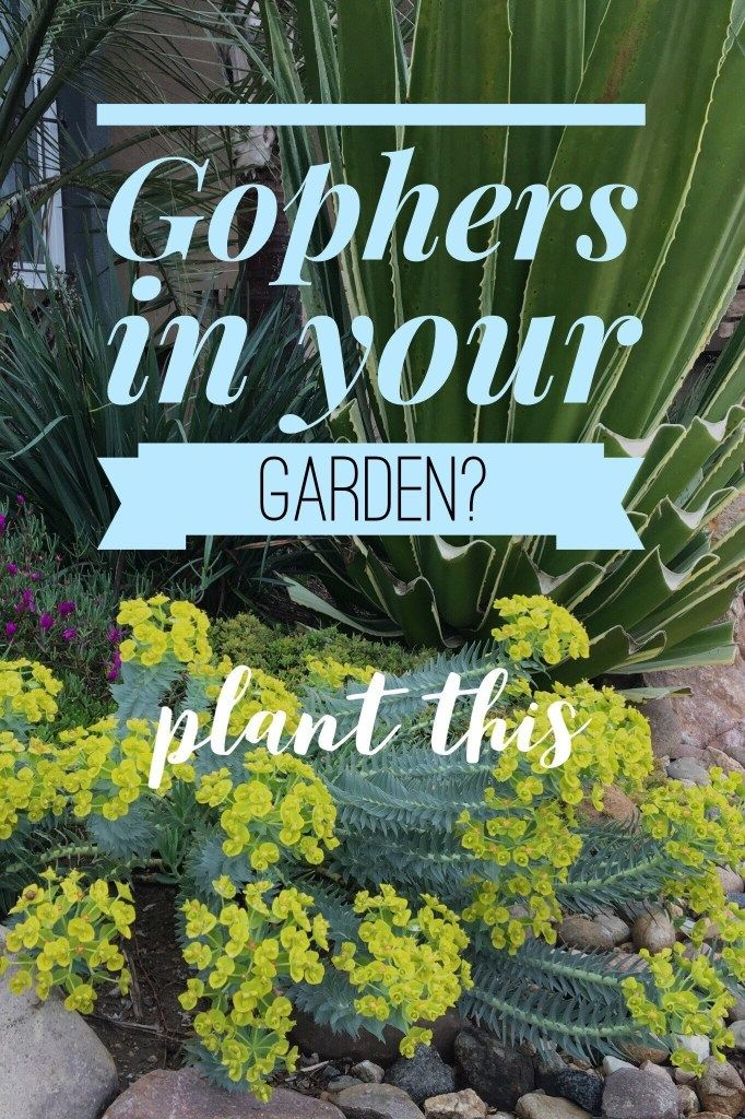 Want To Get Rid Of Your Gophers Landscape With Plants They Avoid Plants Euphorbia Gopher
