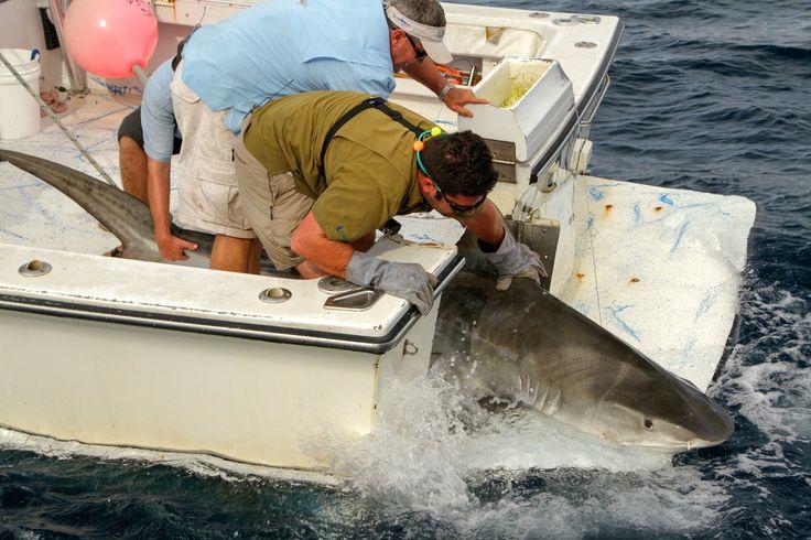 L'attacco dello squalo martello | Episodi | Focus | Dplay