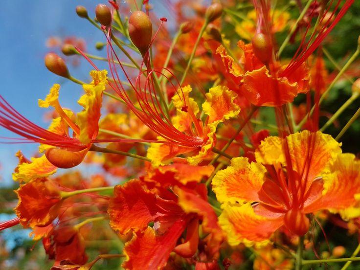 Barbadose pride