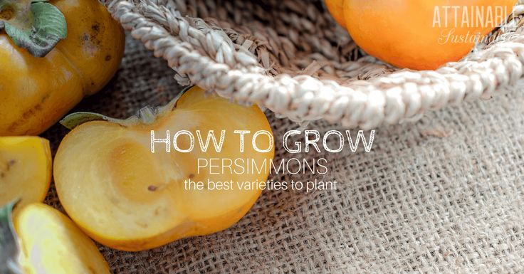 Growing persimmons for a late fall harvest on your homestead. Here's how to decide between an American persimmon tree or a Fuyu persimmon tree.