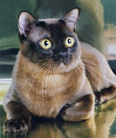 Burmese Beautiful Cat!!