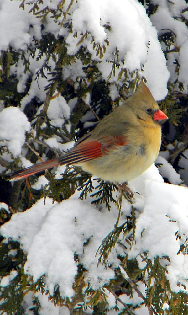 Female Cardinal in Snowy Tree.