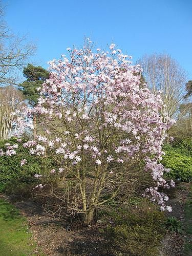 Magnolia stellata 'Jane Platt'