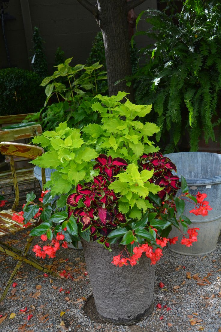 Potted Plants And The Necessary Spring Care: 17 Best Images About Coleus In Pots On Pinterest