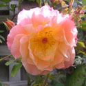 Rosa the Fairy rose info  Group-107-westerland_rose