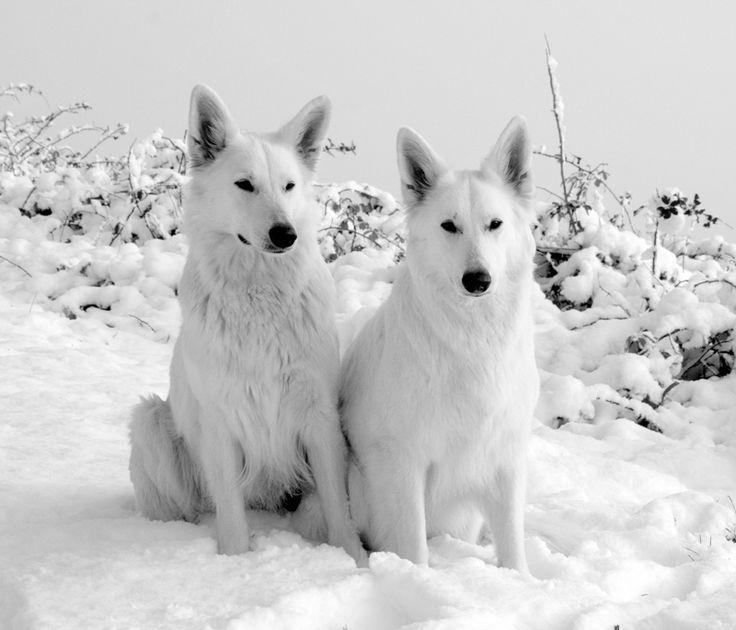 Zwitserse witte herder Kindvriendelijkheid:4 Hondvriendelijkheid:4 Gehoorzaamheid:4 Kan alleen zijn:4 Heeft beweging nodig:5