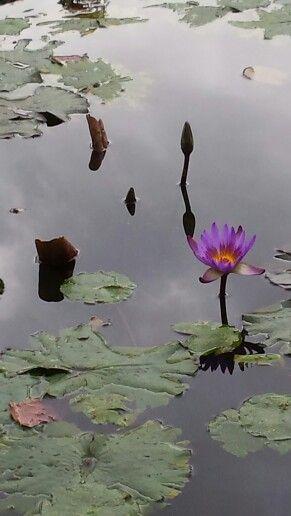 Water lillies, mt cootha gardens brisbane. Copyright Wendy Bennett 2015.