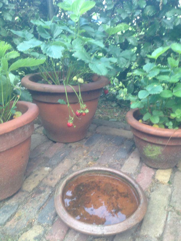 Aardbeien potten