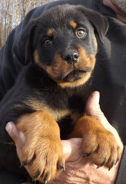 Rottweiler Puppies - German bred - Awesome !!