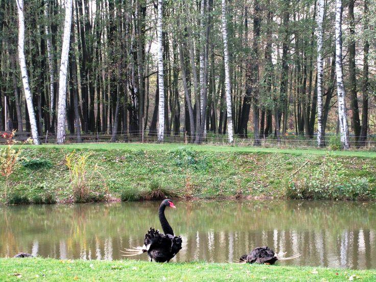 Černé labutě