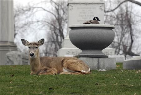 Deer stands guard over goose nest in cemeteryAnimal Friendship, Buffalo Ny, Canada Goose, Eggs Inside, Large Urns, Lawns Cemetery, Mothers Goose, Forests Lawns, Deer