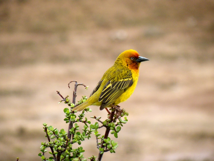 #animal #bird #pajaro #ave #yellow