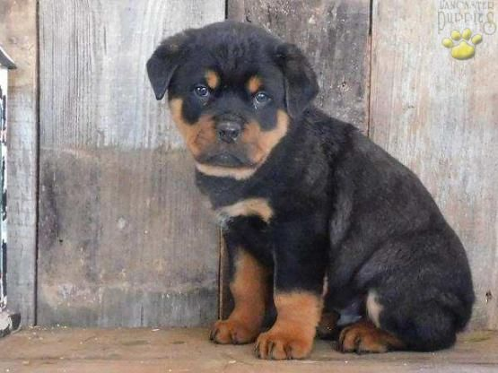 Rottweiler Rottweilerpuppy Rottweilerdog Rottweilerlove Charming Puppiesofpinterest Pin Rottweiler Puppies Rottweiler Puppies For Sale Lancaster Puppies