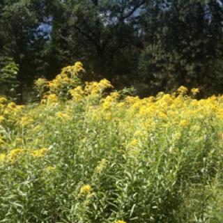 Meadow flowers in Yosemite