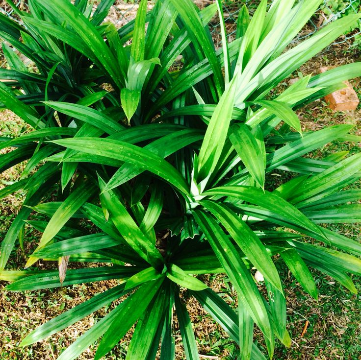 The Pandan plant. The leaves are used by the locals as flavor on food