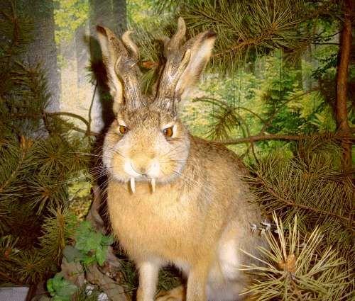 jackalope | Jackalope'y - rogate zające - KryptoZoo - Portal Kryptozoologiczny