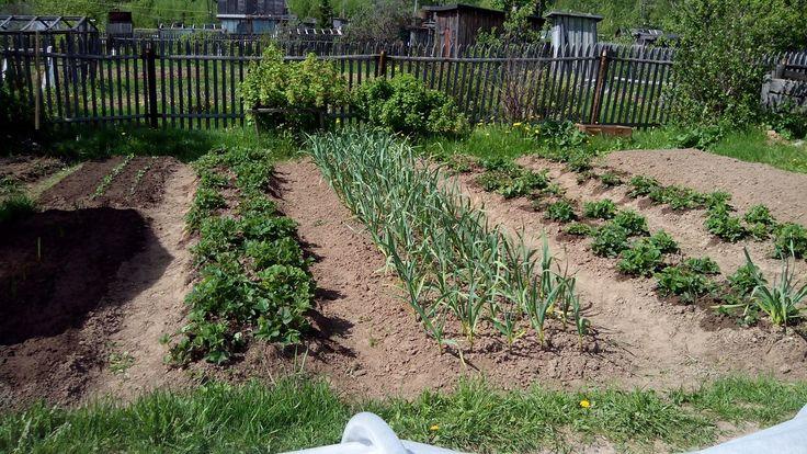 Посадка клубники - когда лучше сажать весной или осенью, как правильно посадить, как ухаживать после посадки, чем подкормить, секрет урожай