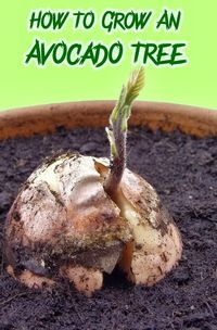 How To Grow An Avocado Tree - maybe I should learn this after the disasters attempting these in my childhood!