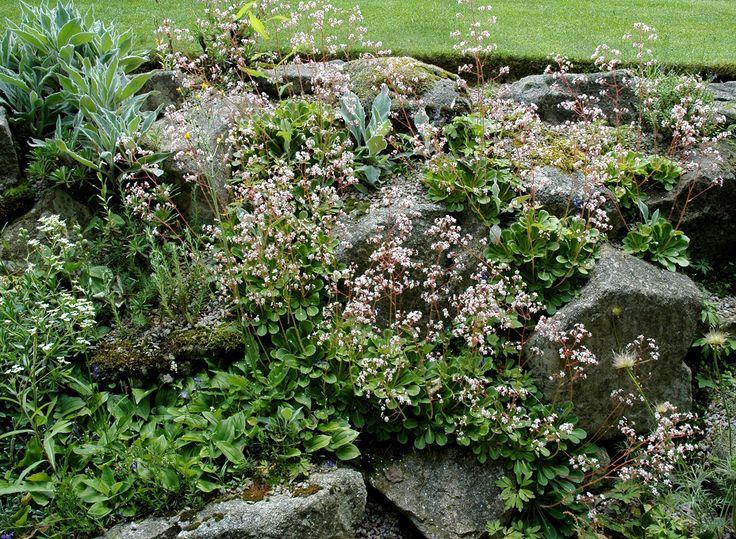Saxifrage. Idéales pour habiller rapidement une rocaille ou un muret, les saxifrages sont de bons couvre-sol à l'ombre, là où d'autres plantes ont du mal à prospérer. Elles se révèlent très précieuses au nord, ou pour habiller le sol entre des buissons ou des arbres, camoufler un remblai, regarnir une portion de gazon régulièrement envahi par la mousse… Sur des talus, où l'herbe reste rare, elles prospèrent à souhait. https://jardinage.ooreka.fr/plante/voir/636/saxifrage