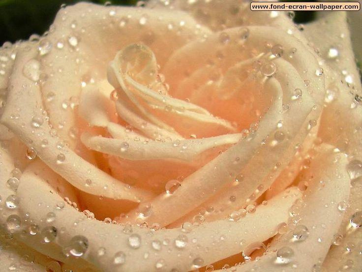 beautiful flowers   BeautyFul Flowers: beautiful flowers wallpapers