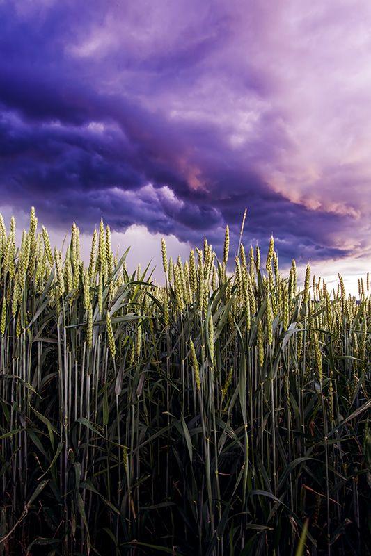 Búzamező vihar előtt.
