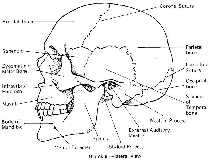 Printable Flashcard on Cranial bones in detail: Free Flash