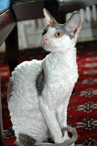 Cornish Rex-Accidentilly bred at first.  One wavy haired kitten emerged from a litter in Cornwall 50 years ago.  The bread was only recognized seventeen years later.