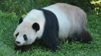 Les hommes préhistoriques mangeaient du panda