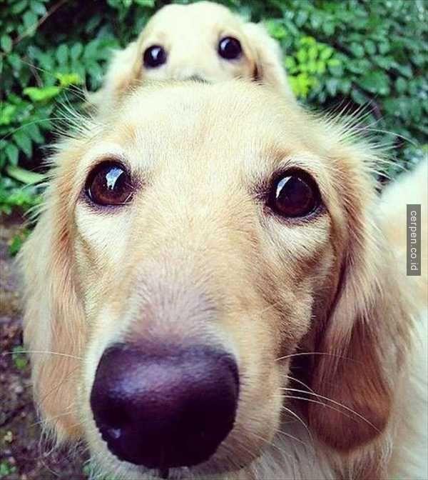Lucunya 20 Anjing ini Foto Bersama-sama Dengan Versi Mininya!