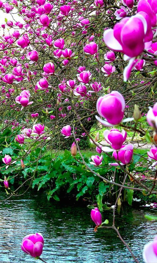Chinese magnolia at the Garden of Ninfa in Cisterna di Latina, central Italy • photo: Frank Stahlberg on Flickr