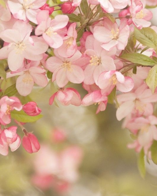 Find This Pin And More On Flowers Gardens Items Similar To Soft Spring Le Tree Blossom