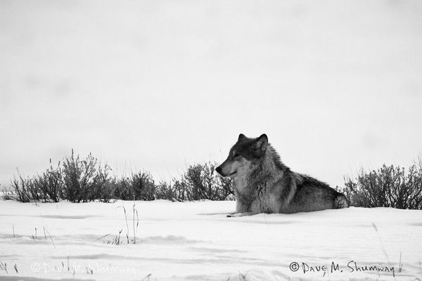 yellowstone s gray wolf ecosystem environmental conservation Save the wolves, not the whales grey wolf appears in iowa for first time in 89 years - and is shot dead the return of grey wolves 'not enough to restore yellowstone's ecosystem' conservation magazine.