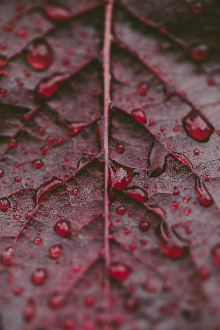Blood red leaves ©Kelly Smith Photography