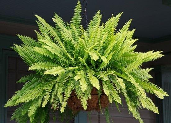 El Helecho como una de las Plantas de Interior - Para Más Información Ingresa en: http://jardinespequenos.com/el-helecho-como-una-de-las-plantas-de-interior/