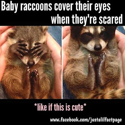 Just a lil fact!: Just a lil racoon fact!
