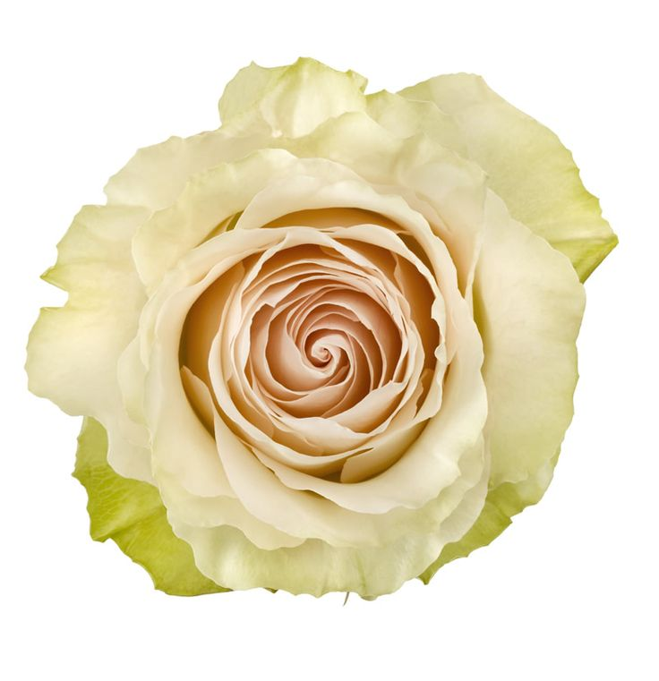 White Patience Garden Rose 28 best roses and garden roses images on pinterest | garden roses