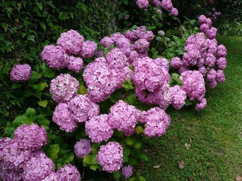 Como cultivar la hortensia hortensias cultivar y consejos - Como podar la hortensia ...