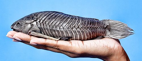 """Cascadura fish, better known as """"Cascadoo"""". Watching my aunts catch these made me deter from trying them all my life. I hear its a real treat though...just something about mud ridden fish digging holes to hide creep me out...and their hard bodies too...guhhh"""