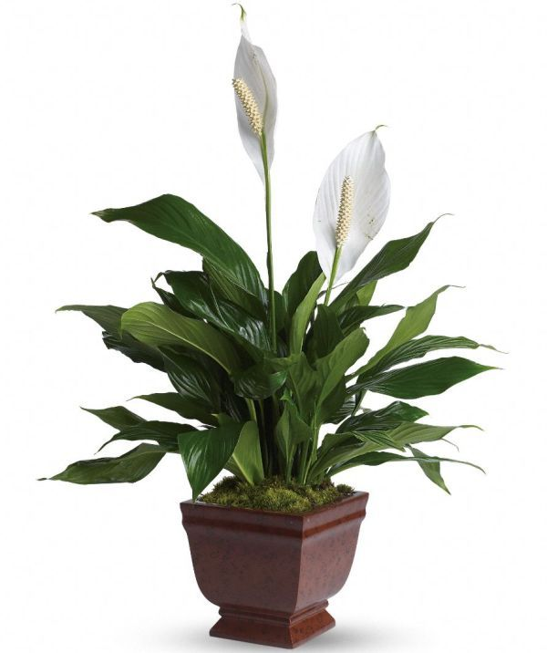 10-air-purifying-plants-for-your-home-&-office_02